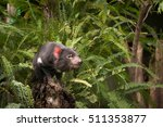 Tasmanian Devil Sitting On Log...
