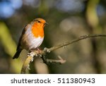 robin redbreast bird perched in ...   Shutterstock . vector #511380943