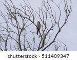 Cooper's Hawk Perched On A...