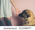 A Big Leonberger Dog Is...
