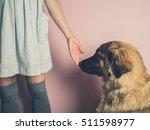A Big Leonberger Dog Is...