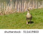 Nile Goose In The Grass