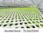 lettuce growing in greenhouse.... | Shutterstock . vector #511625263