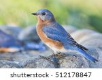 Male Eastern Bluebird Side...
