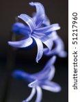 Bright Blue Hyacinth Flower...