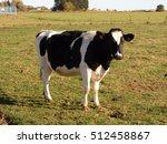 cow standing on green field | Shutterstock . vector #512458867