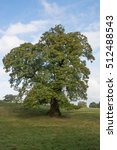 Sweet Chestnut Tree   Castanea...