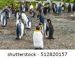 Several King Penguins ...