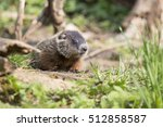 Cute Groundhog Family  Marmota...
