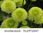 Flowers  Flowers Chrysanthemum...