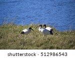 Three  Majestic Sacred Ibis ...