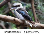 Laughing Kookaburra From...