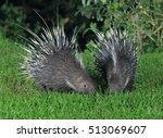 malayan porcupine  himalayan... | Shutterstock . vector #513069607