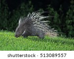 malayan porcupine  himalayan... | Shutterstock . vector #513089557