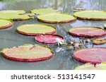 Victoria Waterlily With Giant...