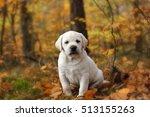 Stock photo yellow labrador retriever puppy in autumn scenery 513155263