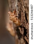 Small photo of Cicada Slough (chan yi, Periostracum Cicadae) most use in Chinese traditional medicine recipe.