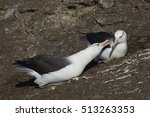 pair of black browed albatross  ... | Shutterstock . vector #513263353