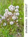 Small photo of Melkolepestnik ustionem (lat. Erigeron acris). Fera medicinales plantarum Siberia