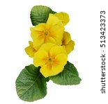 An Isolated Yellow Primula