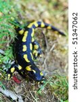 A fire salamander in the Spanish Pyrenees Mountains - stock photo
