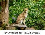 Serval Cat  Felis Serval  In...