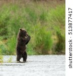 Small photo of Alaskan brown bear cubs in Brooks River in Katmai National Park, Alaska