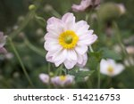Anemone Hupehensis Japonica...