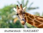 Northern Giraffe  Giraffa...