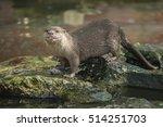 Eurasian Otter  Common Otter ...
