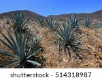 Maguey Plants Field To Produce...