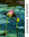 beautiful lotus in the pond... | Shutterstock . vector #514374193
