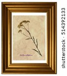 Small photo of Herbarium from pressed and dried flower of common yarrow (Achillea millefolium) in the frame.
