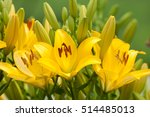 Vibrant Yellow Lilies In A...
