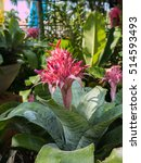 Small photo of Aechmea Fasciata flower in the garden