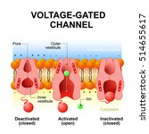voltage gated channels.... | Shutterstock . vector #514655617