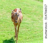 Small photo of African Impala (Aepyceros Melampus) Antelope