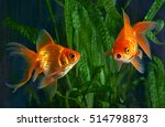 Goldfish  Aquarium  A Fish On...