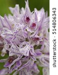 Small photo of Three-toothed orchid (Neotinea tridentata) macro. Liguria. Italy.