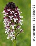 Small photo of Burnt-tip orchid (Neotinea ustulata), close-up. Liguria. Italy.