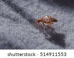 Bed Bug Cimex Lectularius  At...