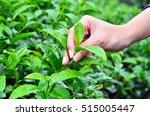 Hand Picking Tea Leaf