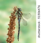 Small photo of Aeshna mixta (male)
