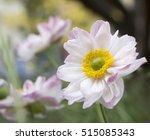 Anemone Hupehensis Japonica...