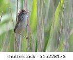 Great Reed Warbler ...