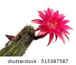 a beautiful bright pink tender echinopsis spiky cactus flower isolated on white