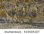 Four Cute Baby Ostriches In...