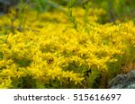yellow flowering moss sedum... | Shutterstock . vector #515616697