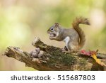 Cute American Red Squirrel In...