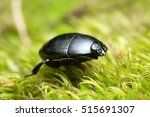 Small photo of Hister beetle, Histeridae on moss